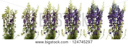 Purple larkspur blooming. Time lapse composite.