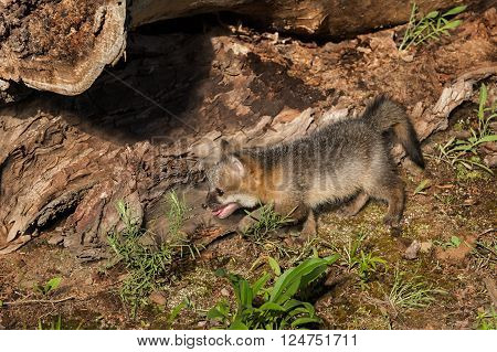 Grey Fox Kit (Urocyon cinereoargenteus) Prowls Left - captive animal