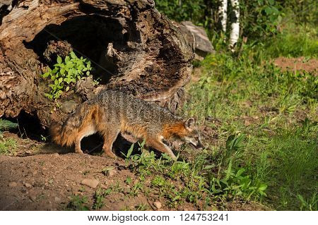 Grey Fox Vixen (Urocyon cinereoargenteus) Stalks Right - captive animal