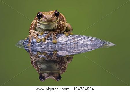 Amazon Milk Frog (Trachycephalus Resinifictrix) reflected in water