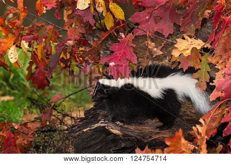 Striped Skunk (Mephitis mephitis) Sits on Log - captive animal