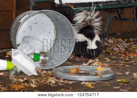 Striped Skunk (Mephitis mephitis) Stands Near Trash Can - captive animal