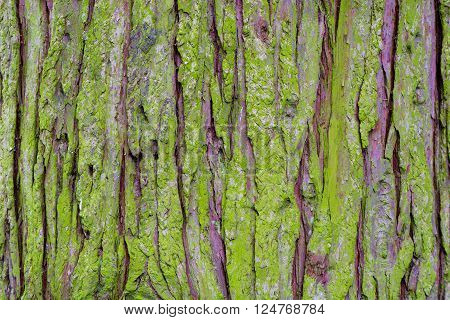 Algae covered conifer bark background. Roughly textured bark of coniferous tree covered in bright green growth