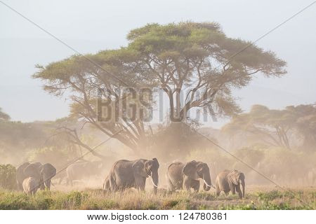 Elephant herd in Amboseli national park in Kenya., Africa.