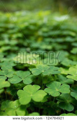 clover plants