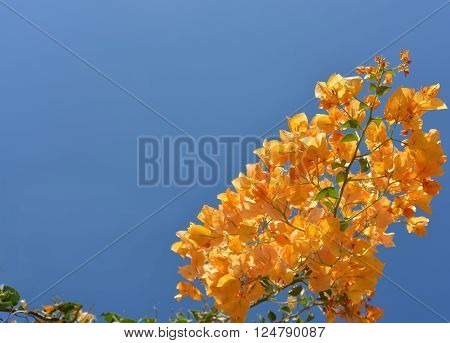 Orange bouganvillea against blue sky background. Image contains free space.