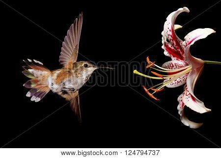Hummingbird with Stargazer Lily Flower on black background