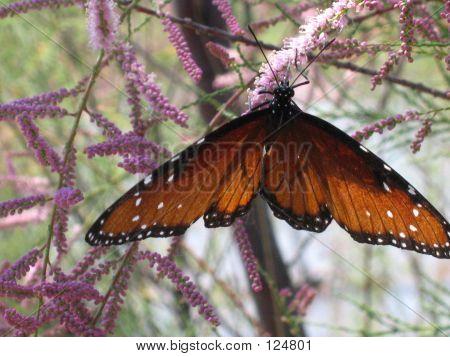 Butterfly On Salt Cedar
