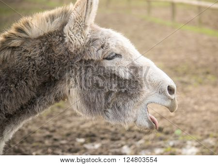Closeup profile portrait of a braying donkey.
