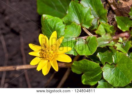 Ficaria Verna, commonly known as Lesser Celandine, is a low-growing, hairless perennial flowering plant in the buttercup family Ranunculaceae native to Europe and west Asia.