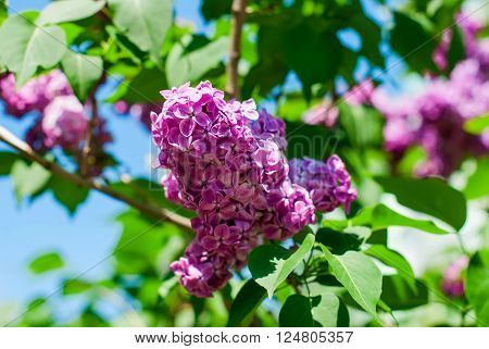Lilac On A Background Of Blue Skies