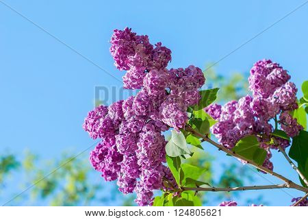 Beautiful lilac on a background of blue sky