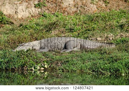 crocodiles or true crodiles are large aquatic reptiles that live throughout the tropics in africaasia the americas and australia order Crocodilia which includes Tomistoma the alligators and caimans the gharials and all other living and fossil Crocodylomor poster