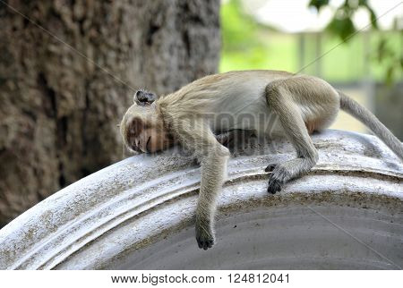 Macaque monkey sleeping on a wall outside the Khao Yoi mountain temple, Petchaburi province in Thailand.