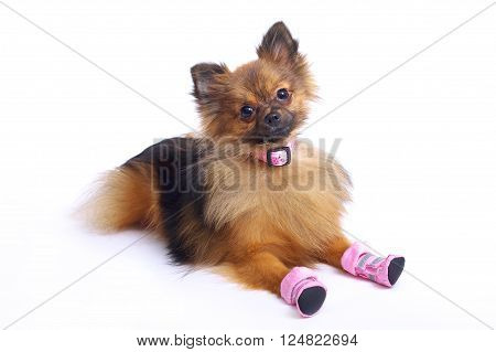 Lying German Spitz in shoes and the collar