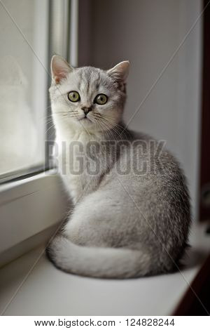 Gray British Shorthair on the windowsill. Gray British Shorthair on the windowsill. Traditional British domestic cat, with a distinctively chunky body, dense coat and broad face.