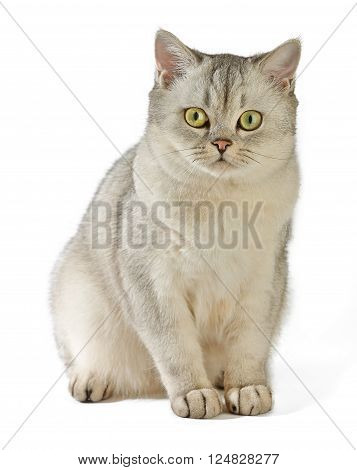 Gray British Shorthair. British shorthair cat, 8 months old, sitting in front of white background.