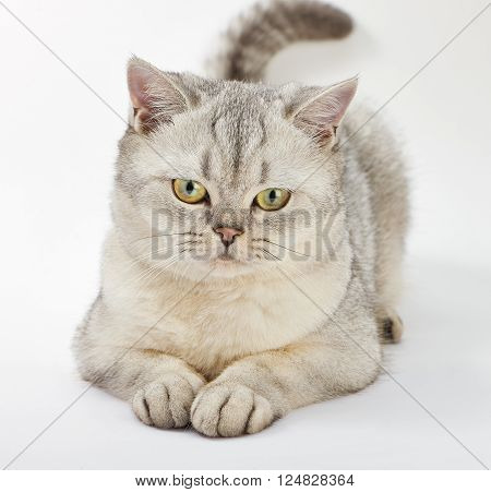 Gray British Shorthair. Portrait of British Shorthair cat lying on a white background.