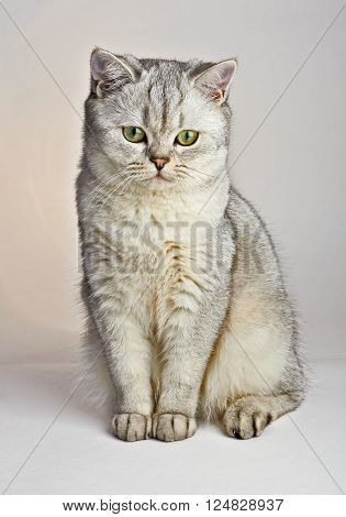 Gray British Shorthair. British shorthair cat, 8 months old, sitting in front.