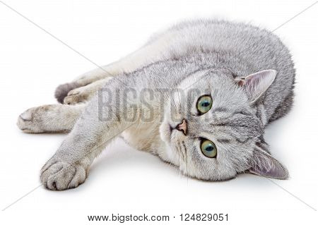 Portrait of Light Gray British Shorthair cat lying and looking up on a white background. Traditional British domestic cat, with a distinctively chunky body, dense coat and broad face.