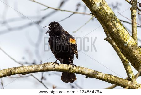 A male Red-winged Blackbird Agelaius phoeniceus perched on a branch. Shot in Canada.