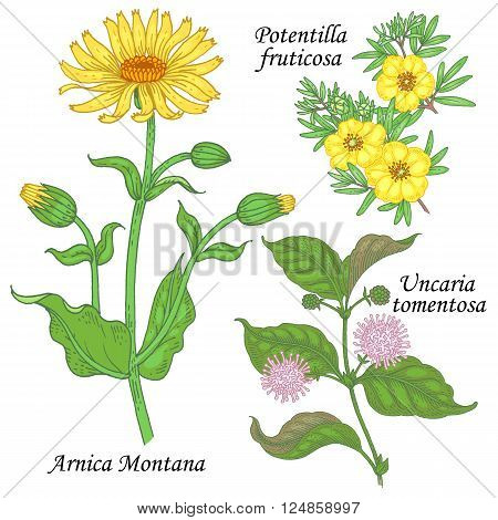 Arnica Montana potentilla fruticosa uncaria tomentosa. Set of plants and flowers for alternative medicine. Isolated image on white background. Vector illustration.