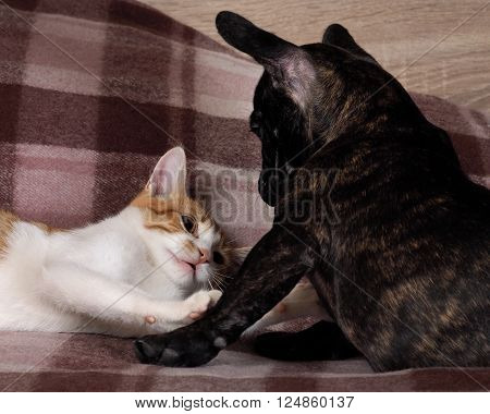 Conflict, fighting cats and dogs. Black Dog Bulldog, white cat