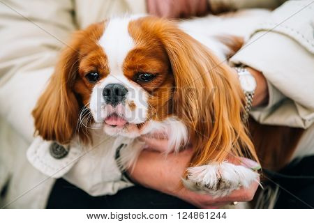 White and red Cavalier King Charles Spaniel Dog sits in hands of woman