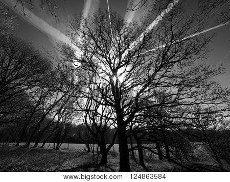Tree silhouette with airplane trails in black and white