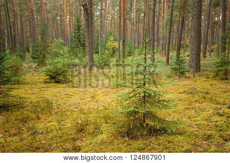 Pine trees in wild autumn coniferous forest reserve park. Nature of evergreen coniferous forest. Nobody. Focus on fir tree on foreground