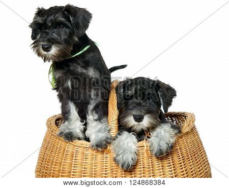 Two black dogs put in brown bag