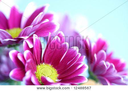 pink chrysanthemum macro