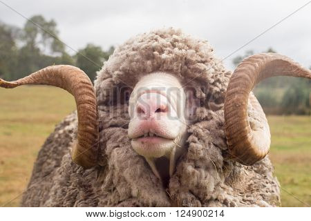 Close up of a ram (Ovis aries) with curly horns and a thick wool coat