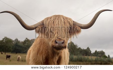 Close up of a brown bull of the Highland cattle breed with long, curved horns and a long fringe of hair covering his eyes
