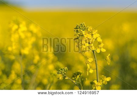 Oilseed rapeseed flower close up in cultivated agricultural field in Belarus. Selective focus with shallow depth of field.