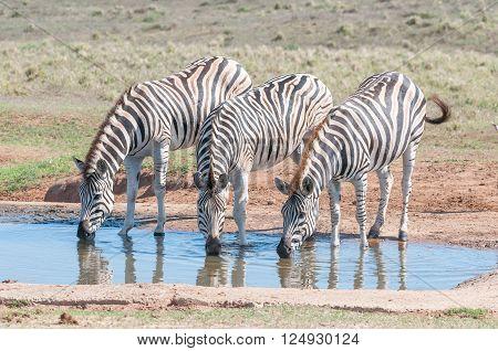 Three Burchells zebras Equus quagga burchellii drinking water