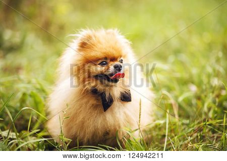 bright red Pomeranian Spitz dog sitting on green grass and sticks out his tongue