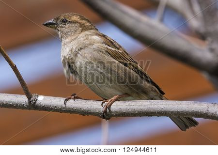 Common sparrow isolated on tree branch in park