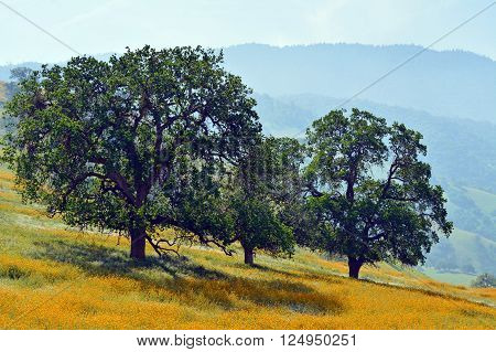 Three oak trees in a meadow of yellow wildflowers.