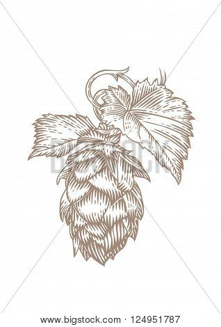 Drawing of fresh green cone and leaves of hops on the white