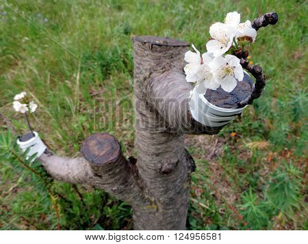 Macro photo of a successful graft in the branch of a cherry tree in bloom.
