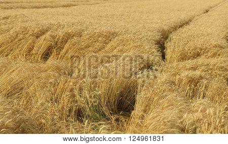 wheat closeup