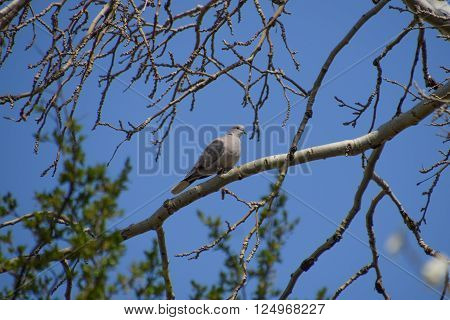 Turtledove On A Branch Of A Silver Poplar