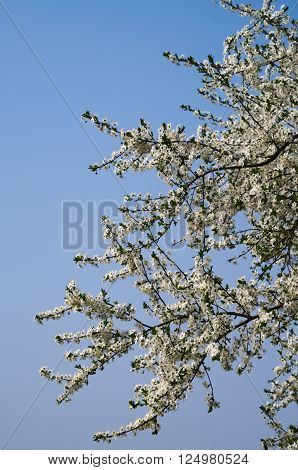 A branch with white flowers of greengage or damson plum tree (Prunus domestica)