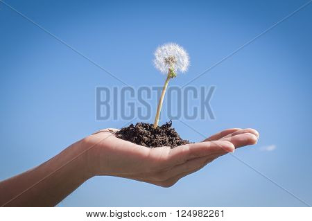 Make a wish. Hand holding a dandelion