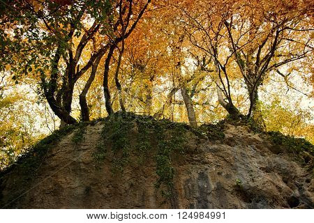 Beautiful autumn yellow trees and green liana on edge of the rock