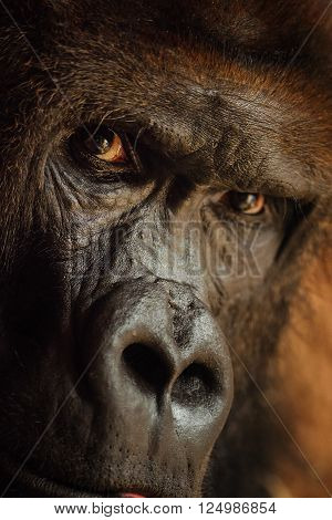 Angry looking gorilla with dangerous expression. Closeup portrait of male ape.
