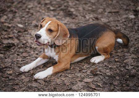 beagle dog tricolor lying on the ground, early spring