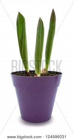 Three young tulip sprouts in purple pot, isolated over white with clipping path