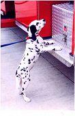 dalmatian mascot at an american fire station poster
